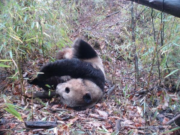rhamphotheca:  Camera Trap Photos:  Giant Panda (Ailuropoda melanoleuca) A giant panda takes a roll in the leaves.The giant panda's habitat is limited to a region of temperate bamboo forests in south-central China. The bamboo-loving bears are endangered, and there are perhaps as few as 2,500 mature pandas left in the wild. Click through for more pictures of wild creatures, both familiar and strange, captured by camera traps set up from China to Kenya to Virginia, and collected on Smithsonian Wild, a new website from the storied research institute. The cameras, triggered by motion and heat, capture the animals unawares, going about their lives in their natural environments. Credit: Smithsonian Conservation Biology Institute (via: Our Amazing Planet)  Cutie!!!