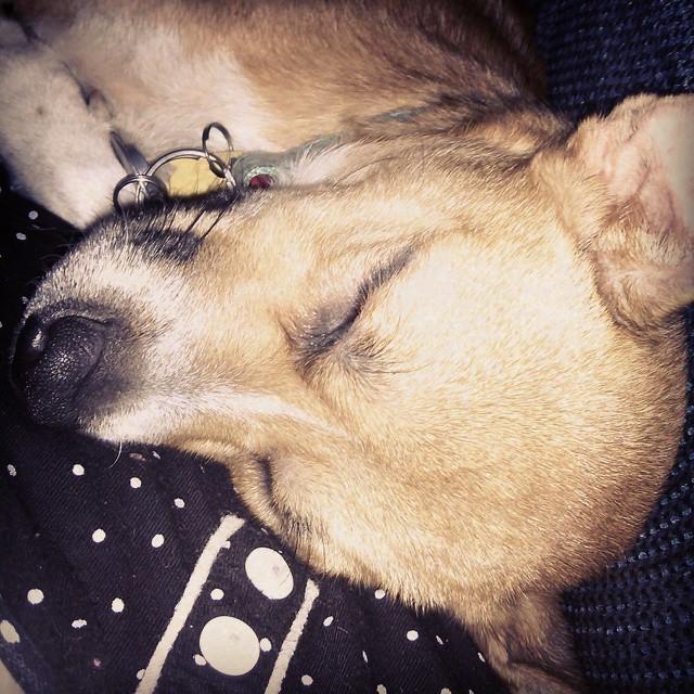 My cuddle buddy this morning. He never wants to cuddle! #Sheldon #dogstagram #dogsofinstagram #sleepypuppy #cuddlebuddy