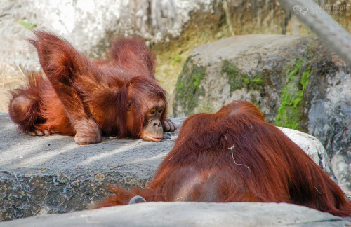 drownmeinl0ve:  Whatcha Thinkin' 'Bout? on Flickr. Orangutans at Lowry Park Zoo in Tampa, Florida.