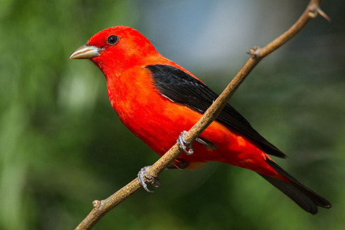 Scarlet Tanager by Seth Patterson on Flickr.I'd love to see one of these in person.