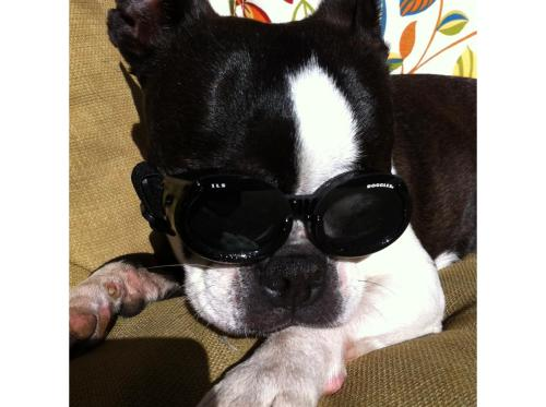 Credit: ibostonterrier