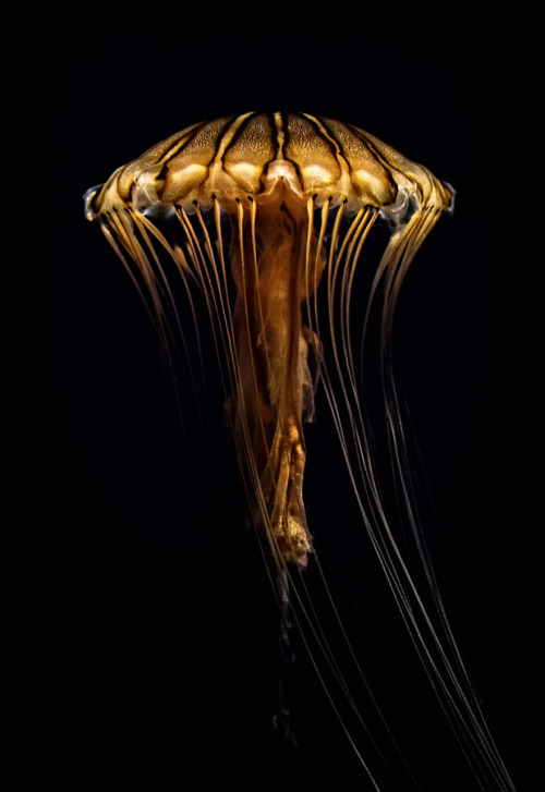 jellyfishtimes:  animalkingd0m:  Jellyfish by Igor Kovalenko  wow…
