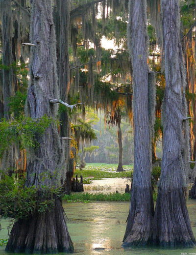 sunflowersandcountrycharm:  dailydoseoftexas:  Caddo Lake, TX  I practically grew up here. Gorgeous place.
