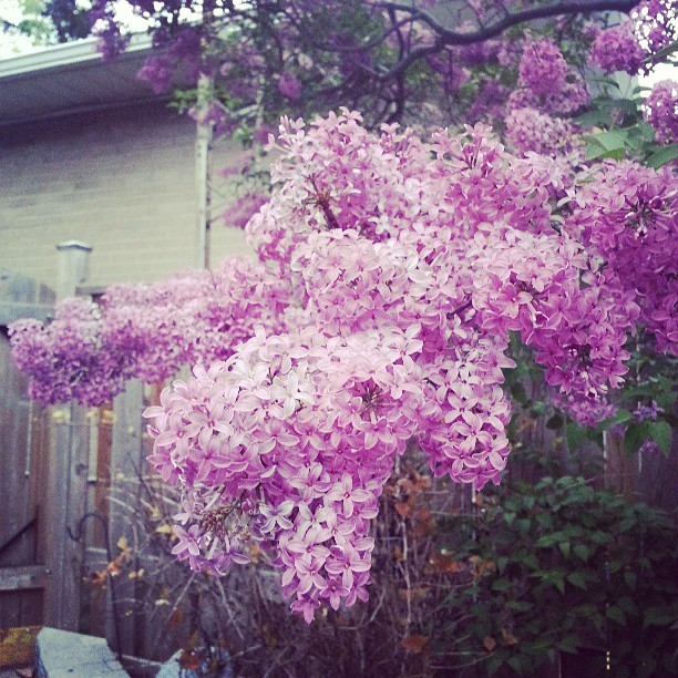 beautiful! #blossoms #mayflowers