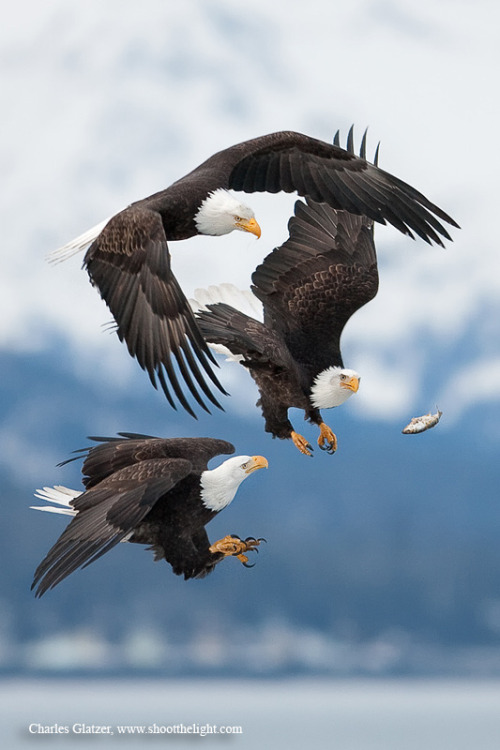 animals-animals-animals:  Bald Eagles (by Charles Glatzer)