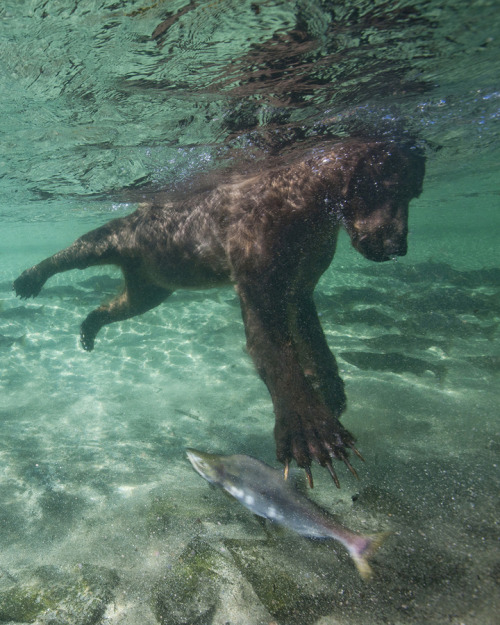 vurtual:  Fishing Grizzly Bear (by Paul Souders)