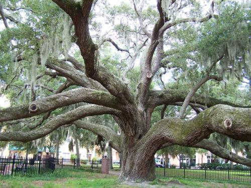 crystalcats:  milktree:  this oak tree is over 500 years old  let me be you