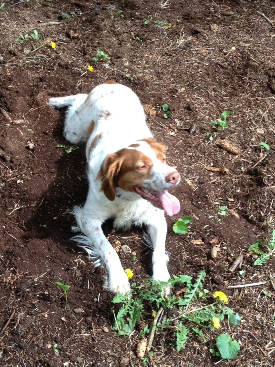 aprylynn:  He's happiest when he's outside, lying in dirt!