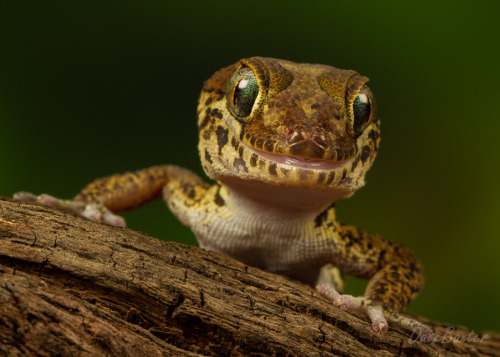 animals-animals-animals:  Madagascan Ground Gecko (by Dave Baxter)