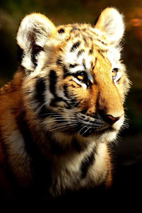 imalikshake:  Malaysian Tiger Cub, Bronx Zoo by Ed Gaillard on Flickr.