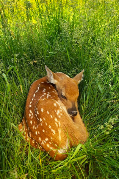 "nature-madness:  ""Morning Fawn In Grass"" by Charles Glatzer"