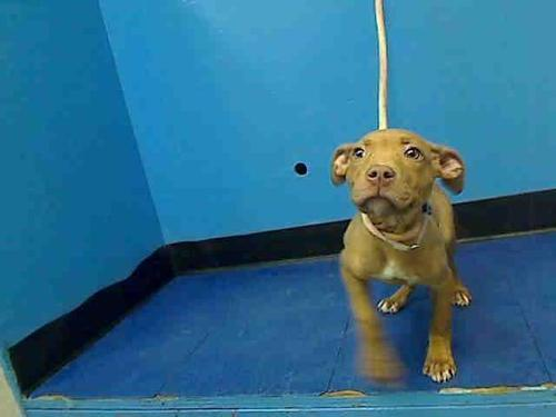 "proofmathisbeautiful:  fuckyeahpitbullterriers:  proudpits:  Urgent Part 2 - Urgent Death Row Dogs Manhattan Center HOBAN - A0952648 FEMALE, BROWN / WHITE, PIT BULL MIX, 2 mos SEIZED - ONHOLDHERE, HOLD FOR ARRESTED Reason OWN ARREST Intake condition NONE Intake Date 12/07/2012, From NY 10038, DueOut Date 12/10/2012 Medical Behavior Evaluation GREEN Medical Summary SCAN NEGATIVE BRIGHT, ALERT, RESPONSIVE, HYDRATED PHYSICAL EXAM young female puppy good appt nosf Weight 7.0 For more information on adopting please read the following: https://www.facebook.com/Urgentdeathrowdogs/app_137541772984354 DO NOT call the shelter and say you are adopting unless you truly intend on physically going to the shelter to adopt the dog. It ties up phones lines and is a waste of the staff's time to explain the adoption procedure over the phone for someone who is purposely not going to show up. They need every free second of their time to answer calls, assist actual adopters, process intakes, and care for the animals. More importantly, they will note the dog's file that an adopter is en route which will prevent an actual adopter from saving the dog. This is considered a ""fake adoption"" hold and that is how dogs fall through the cracks and end up being killed. For more information on a particular dog, email adoption@nycacc.org but ONLY if serious about adopting, and ONLY if you are able to GO TO the shelter in-person. Please do not email for status updates… the only thing you will accomplish is spamming their in boxes and causing REAL adopter emails to go un-noticed. Contact the NYC ACC at (212) 788-4000 for further automated instructions  I haaaaate hate haaaaate seeing PUPPIES on death row, what the flippington.  Are we just NOT giving chances anymore? Good grief. GET THIS PUP SHARED, REBLOGGED AND OR LIKED. No reason for her life to come to such a short end. :'(  Any followers in NYC want a new best friend!! This sweet little guy needs a home!! :O  Please help out this little guy! give him a chance!"