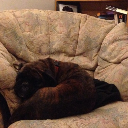 #100daysofhappiness day 61, a whole chair, and she squishes herself up on the edge…. Muppet…. :)