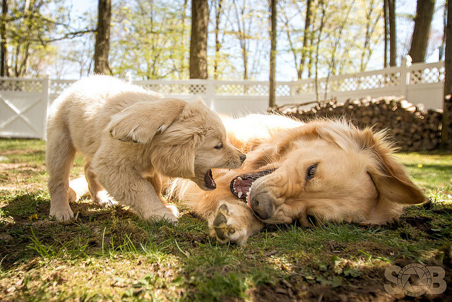 | Just Horsing Around | on Flickr. A 9-week-old Golden shows that size does not matter, just act cute and you could get away with picking on things 5 times your size.Follow SOBPhotography on FacebookSOBPhotography Home Page