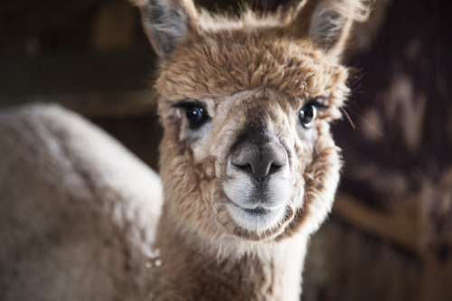 adoxografik:  Ridiculously photogenic alpaca St-Hippolyte, Quebec Canon 5D © Me