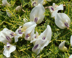 """Astragalus angustifolius is an extremely spiny dwarf shrub growing in the high mountains of Crete between 1200 and 2200 m. They often grow in large 'hedgehog' colonies and flower from June to August. It is not an endemic plant and grows from the Balkans to south-western Asia."" http://www.west-crete.com/flowers/astragalus_angustifolius.htm"