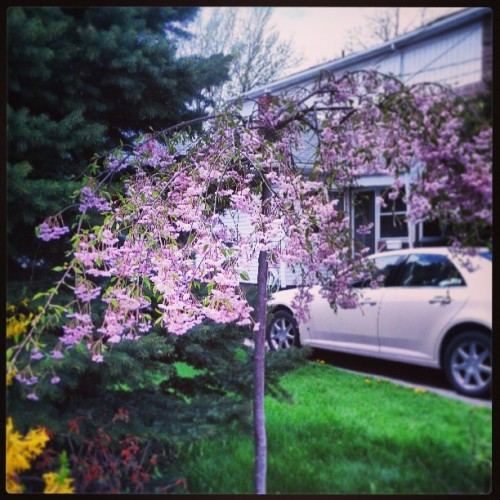 Trees in bloom. #trees #flowers #bloom