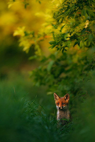 Red Fox in sunset light by Hermann Hirsch