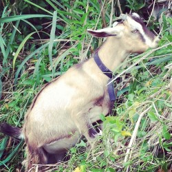 🐐🌾 (at Scenic Point - Wainaku)