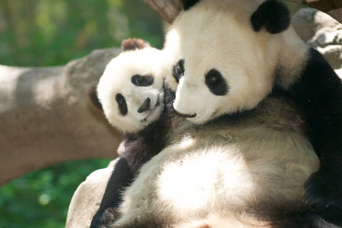 giantpandaphotos:  Bai Yun with her son Xiao Liwu at the San Diego Zoo on April 28, 2013. © Rita Petita.
