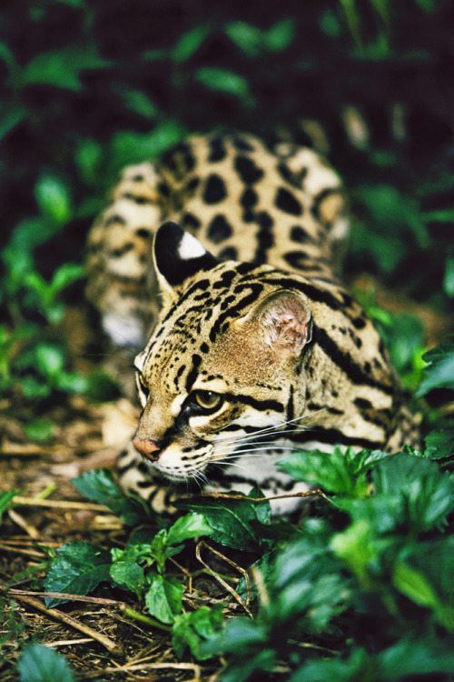 x-enial:  Female Ocelot David Davis