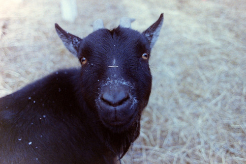 Goats Have Strange Eyes on Flickr.Seriously though, square pupils are so strange. Shot with 35mm Fujicolor Superia X-Tra 800 using my Nikon N70 with a Nikkor 24mm f/2.8D. Negative scanned with the Wolverine F2D20 film to digital converter and edited in Photogene for the IPad.