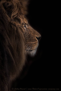 "magicalnaturetour:  ""Atlas Burdened No More"" by Ashley Vincent~  Quoted from Ashley Vincent ~  ""The Barbary Lion (aka the Atlas Lion), a sub-specie of lion now regrettably extinct in the wild.  The Barbary Lion is not the only animal to have become extinct (EX) along the Atlas Mountain range, so too has the Atlas Bear(none in captivity either), the North African Elephant, and the African Aurochs - a type of large wild cattle. In addition to which, the Barbary Macaque and Cuvier's Gazelle are endangered (EN), while the Barbary Leopard and the Northern Bald Ibis are critically endangered (CR)."""