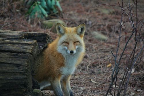 liamdryden:  tondalayo:  foxes enjoying themselves (x) you're welcome  i can't deal with this