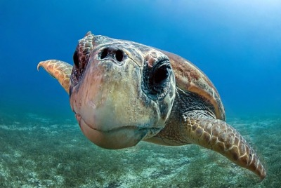 earthlynation:  Caretta caretta by Alp Baranok   Caretta caretta from Kaş Turkiye