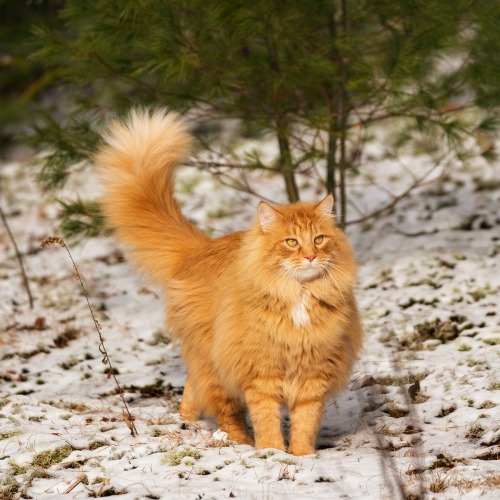 // Ginger tabby longhair with amber eyes. //Credit:   Jody Parks  [source] [license] #cat#ginger tabby#longhair#amber eyes #ginger tabby longhair  #ginger tabby with amber eyes  #ginger tabby longhair with amber eyes #outdoors#nature#snow#pexels#ftu pics