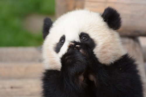 giantpandaphotos:  Yuhin at Adventure World in Wakayama, Japan, on April 7, 2013. © Patrick Harper.  IM DYING OMG