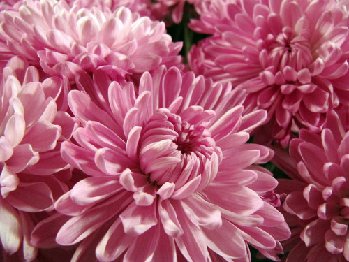 Cushion Pom Chrysanthemum