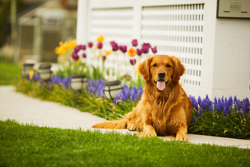 Aww a Golden Retriever!That picture has a dog in spring so cute! :) <3