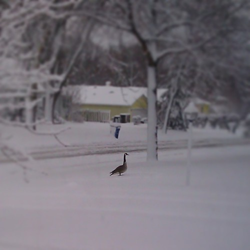 There is a very lost goose in my neighbor's yard