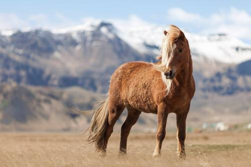 awwww-cute:  The horses of Iceland are rather majestic