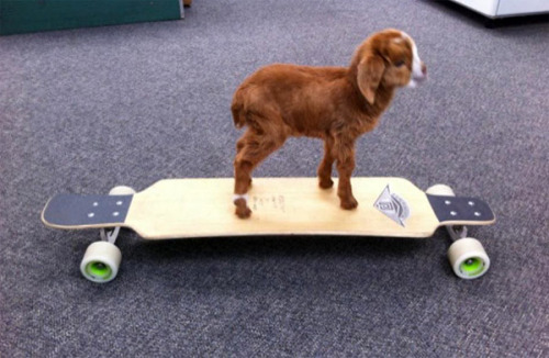 jasminedarling:  He was a skater goat, he said see you later, goat.   That goat is cute!!!!!