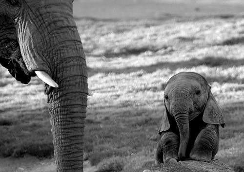 higherstateofmind:  maryochse:  Elephants are amazing animals  Indeed, one of my favorite animals to ever exist.