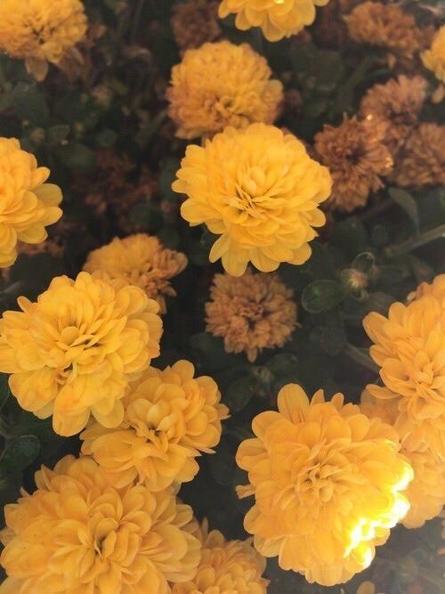 gold gold aesthetic flower flower aesthetic flowers marigolds yellow yellow aesthetic
