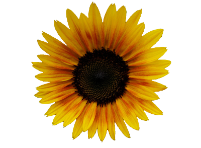 transparent-flowers:  Sunflower. Helianthus annuus. Here ya go oceania-amenra :)