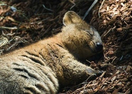 Cutest animal ever = the quokka