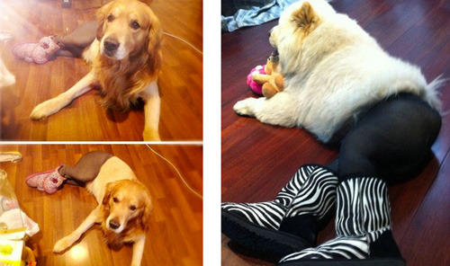 lifecrystals:  meevist:  Dogs Wearing Pantyhose, A Popular New Meme in China I'M FUCKIGN SCREAMING AT MY COMPUTER  I don't even know what to say.