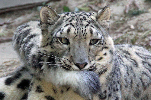 wethatkindoforc:catsbeaversandducks:Snow Leopards And Their Giant Nommable Tails