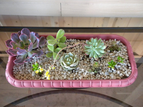 animeshawty:  succulent garden by Becky in Texas on Flickr.