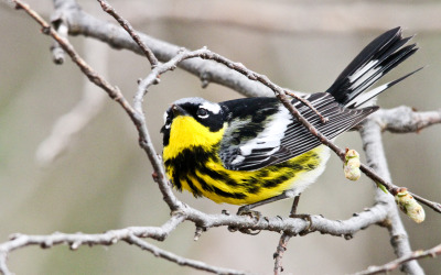 roggiesworld:  Magnolia Warbler @ point Pelee