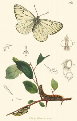 scientificillustration:  Aporia crataegi