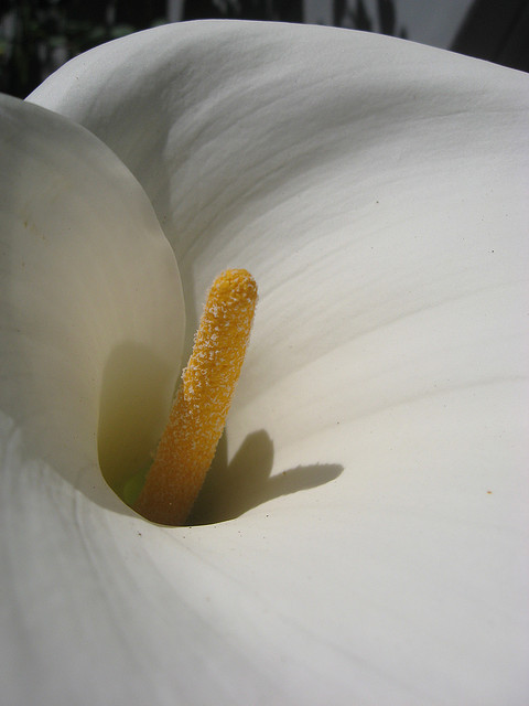 Calla on Flickr.[Image: Peering into the heart of a calla lily.] Today?