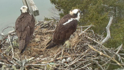 Live webcam uncovers osprey love triangle As one osprey pair reveals, monogamy is not always the way it works out.