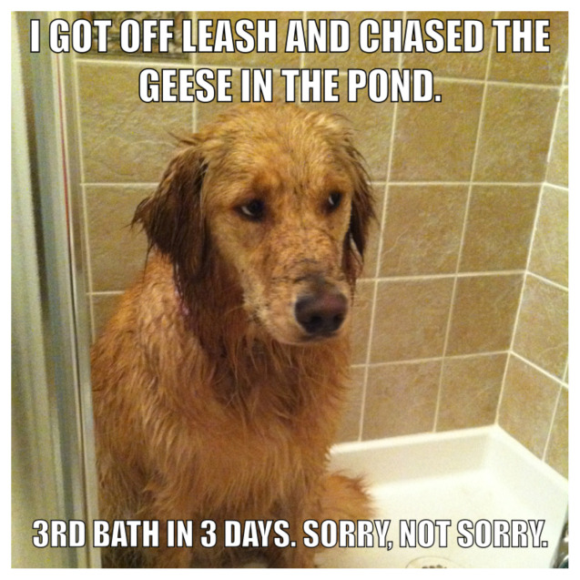 dogshaming:  I chased the geese into the pond I think someone knows a shaming picture is coming…View Post