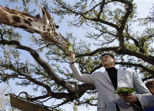 Yao Ming reaches down to feed a giraffe.