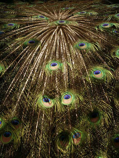 Peacock's Feather by yanen31 on Flickr.
